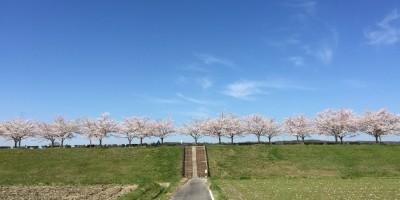 おの桜づつみ回廊 道
