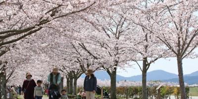 桜づつみ回廊1