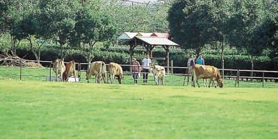 共進牧場(牛)