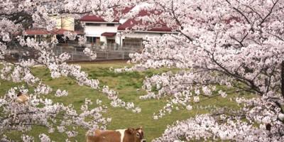 共進牧場(桜)