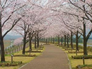 桜づつみソメイヨシノ
