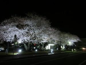 市役所夜桜