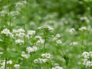 蕎麦の花1