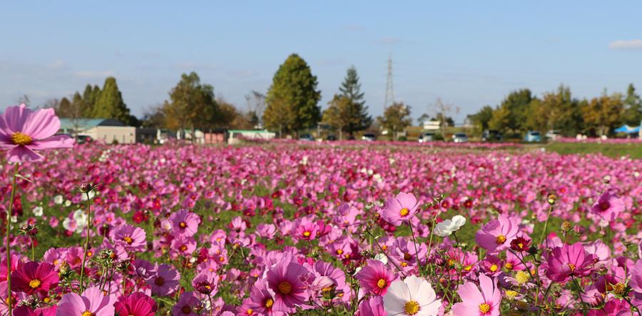 秋のコスモス ひまわりの丘公園
