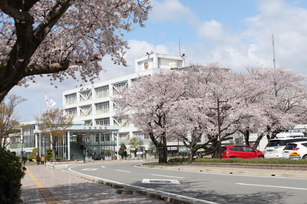 小野市役所 桜