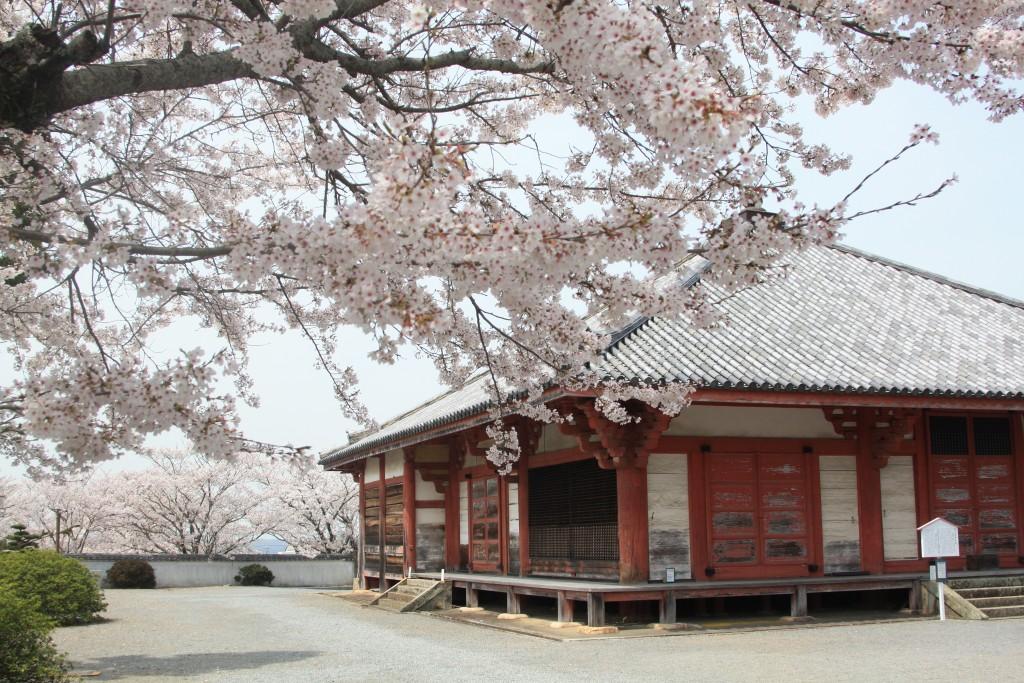 浄土寺 桜
