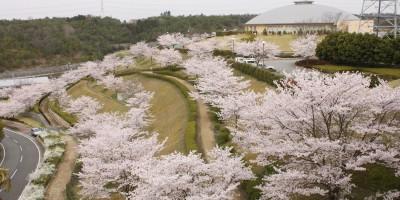 匠台公園 桜