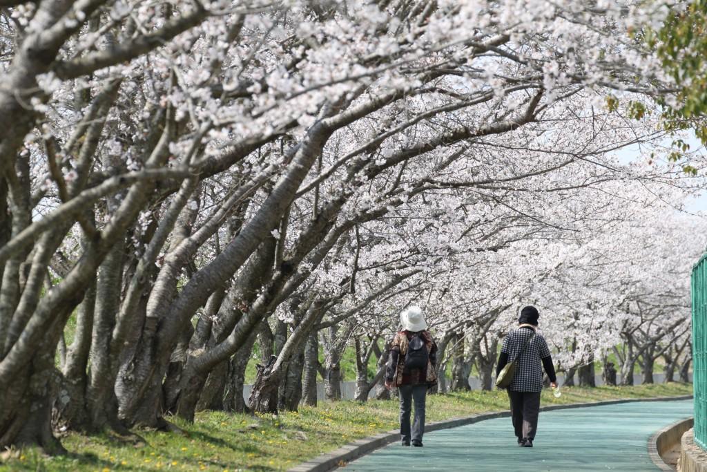 河合運動広場 桜