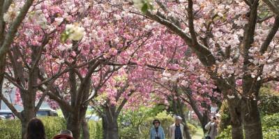 桜づつみ・やなせ苑