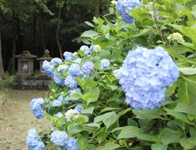 浄土寺裏山あじさい1