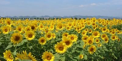 ひまわりの丘公園(ひまわり畑)