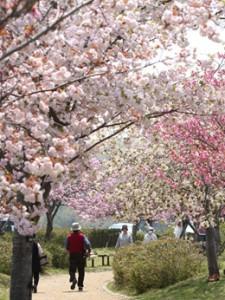やなせ苑八重桜ウォーク