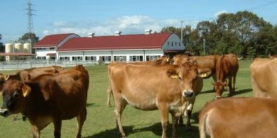 共進牧場(乳牛)